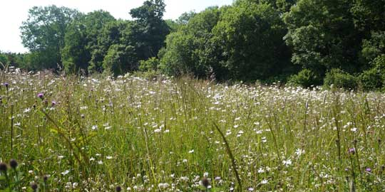 Wild flower meadow on the Neston Park estate