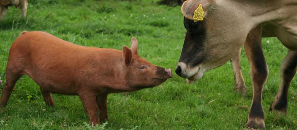 Pig and Cow rendezous in a field