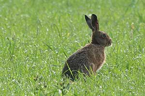 Hare out in the Park Farm fields